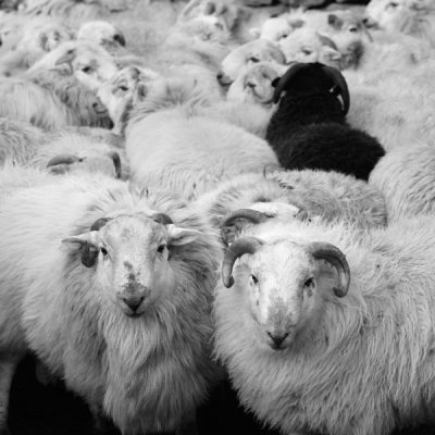 Lambs at Blaen y Nant