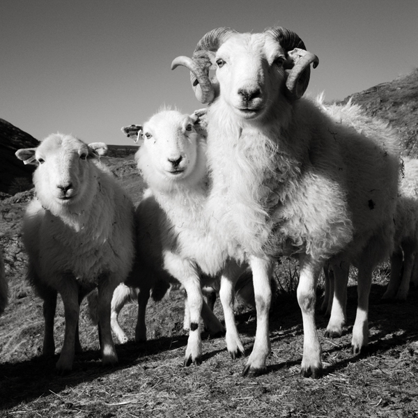 Sheep The Abergwesyn Pass, Cambrian Mountains