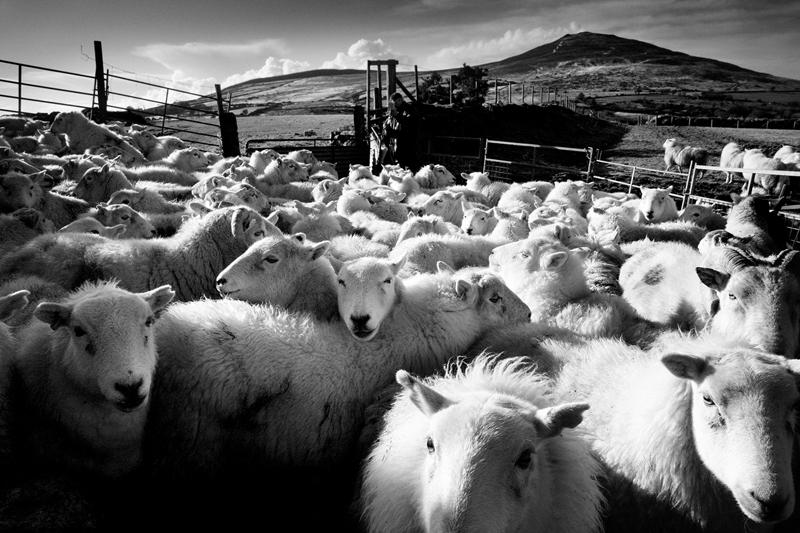 Sheep-at-the-foot-of-Foeldrygarn-Pembrokeshire-2
